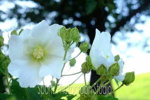 芙蓉の花 - スポーツカメラマン国分智の散歩の途中で