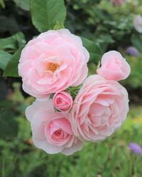 バラ2番花見納めチーム♪ - ペコリの庭と時々パン