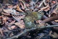 オオルリの若鳥とムシクイ - 上州自然散策3