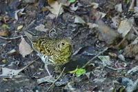 トラツグミ - 上州自然散策3