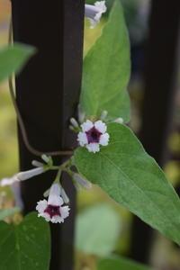 可愛い花なのに可哀そうな名前の花 - ヒバリのつぶやき