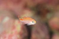 アサヒハナゴイ幼魚 - Diving Photo web図鑑