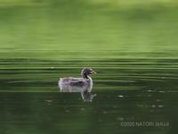 カイツブリ(幼鳥) - 狭山丘陵の自然 ~ ベニヒワ♪の自然観察 ~