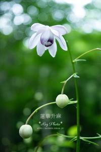 夏の妖精 - Rey Photo