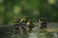 メジロの水浴び - 野鳥公園