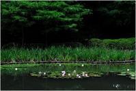 睡蓮が咲く池 - HIGEMASA's Moody Photo