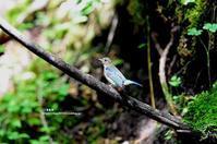 水場のオオルリ(幼鳥 雄) - azure 自然散策 ~自然・季節・野鳥~