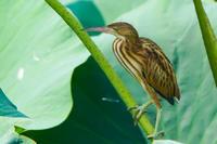 葦五位(ヨシゴイ)幼鳥 - 野鳥などの撮影記録