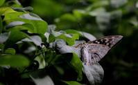 立秋涼風至(すずかぜいたる) - 紀州里山の蝶たち