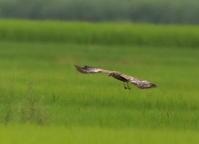 マダラチュウヒその3(リベンジで出かけ) - 私の鳥撮り散歩