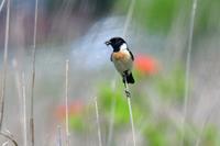 ノビタキ~初夏の風に吹かれて~~ - 小鳥の瞳に恋してる