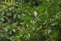 2020-144 サンショウクイの飛び出し - 近隣の野鳥を探して2
