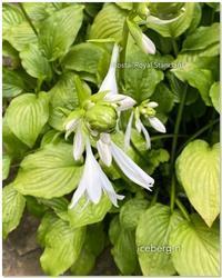 ホスタ・ロイヤルスタンダードの花が咲き出しました♡ - 小さな庭 2