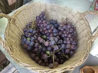 葡萄の収穫 - 旅と数学  それとdiy