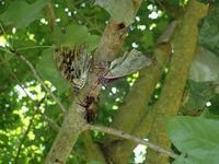 オオムラサキ♂同士の求愛 - 秩父の蝶