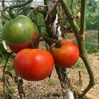 トマトを収穫しました - Salad Days