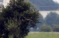 マダラチュウヒその4(リベンジの連続) - 私の鳥撮り散歩