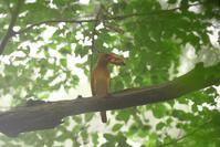2020-145 アカショウビンの餌運びPart6 - 近隣の野鳥を探して2