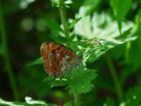 高原の蝶 - 飛騨山脈の自然