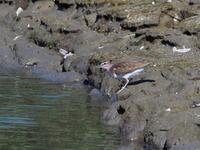干潟にはイソシギもいた - コーヒー党の野鳥と自然パート3