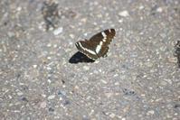 20200810 【蝶】イチモンジチョウとアサマイチモンジ - 杉本敏宏のつれづれなるままに