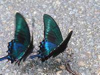 道路上で吸水するミヤマカラスアゲハ - 蝶超天国