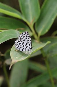 ゴイシシジミの交尾や産卵 - 蝶超天国