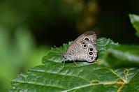 ヒメウラナミジャノメ - 続・蝶と自然の物語