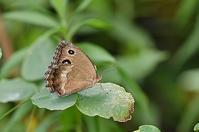 ジャノメチョウ - 続・蝶と自然の物語