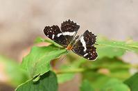 サカハチチョウ・・夏型 - 続・蝶と自然の物語