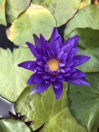 紫ひと花 - 今日もひとつだけ