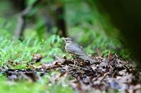 水場のクロツグミ (雌) - azure 自然散策 ~自然・季節・野鳥~