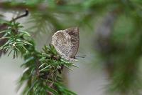 ルーミスシジミお盆休みの房総で - 蝶のいる風景blog