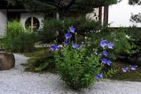 光明院の桔梗と苔 - 花景色-K.W.C. PhotoBlog