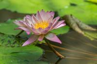 熱帯睡蓮とプルメリア - あだっちゃんの花鳥風月