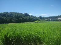 暑くても田んぼへ~草取り~ - いねのかみ ~すべては「おかげさま」~