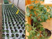 自分で育てる苗の健康と品質 - すてきな農業のスタイル
