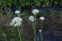 自然栽培釧路の気温ではない豆の収穫 - 自然栽培 釧路日記