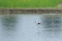 セイタカシギ と コアオアシシギ - 気まぐれ野鳥写真