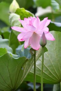 小倉池のハス - Taro's Photo