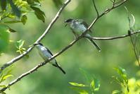 2020-147 サンショウクイの給餌 - 近隣の野鳥を探して2