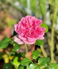 我が家独特の黒星病?と、主人の優先順位(笑) - 薪割りマコのバラの庭