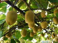 水源キウイ11月中旬からの収穫に向け、しっかりと手をかけ育てます!キウイフルーツは冬の果物です! - FLCパートナーズストア