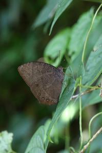 クロコノマチョウの生態観察 - 蝶超天国