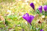 春の花。クロッカスです。紫色 - 平凡な日々の中で