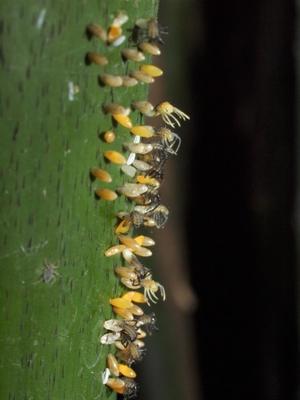 オオテントウ孵化 -