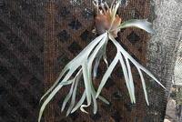 Platycerium bifurcatum ssp. veitchii - PlantsCade -2nd effort
