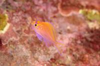 ハナゴンベ幼魚 - Diving Photo web図鑑