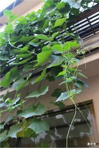 ヘチマのその後⑨4ヶ月目の花が咲かないヘチマたち - 身の丈暮らし  ~ 築60年の中古住宅とともに ~