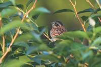 庭のホオジロ幼鳥/事実を伝えて! - 赤いガーベラつれづれの記